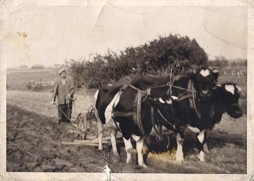 Kuhgespann in den 50er Jahren